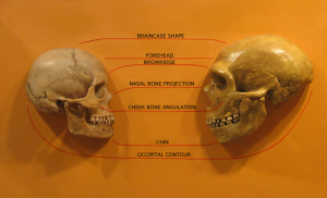 H. Sapiens is on the left