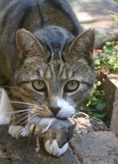 A lesson for rodents:  don't listen to the parasite in your brain.  Cat pee IS NOT ATTRACTIVE! Image from Wikimedia