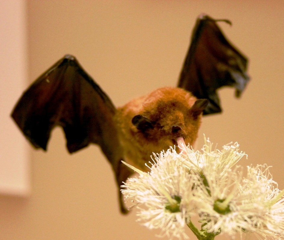 Stealth bats.  Also happen to have the fastest metabolism of any known mammal. Photo by Ryan Somma