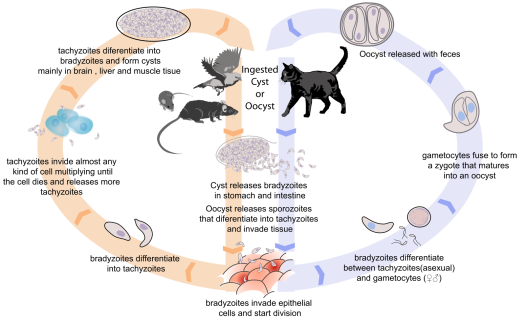 The life cycle of Toxoplasma gondii.  Humans are on the left side of this diagram along with the rodents and small birds.  Image from