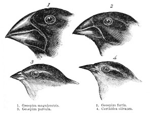 Darwin's famous finches.  He observed that some beaks were better suited for cracking seeds and others for tearing fruit.