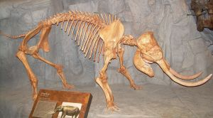 Elephas_skeleton
