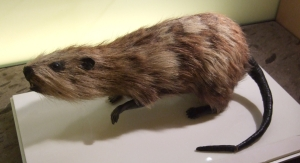 A Rodent of Unusual Size, the (now extinct) Tenerife Giant Rat.  Image by Wikimedia user M0rph