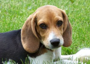 Cute_beagle_puppy_lilly