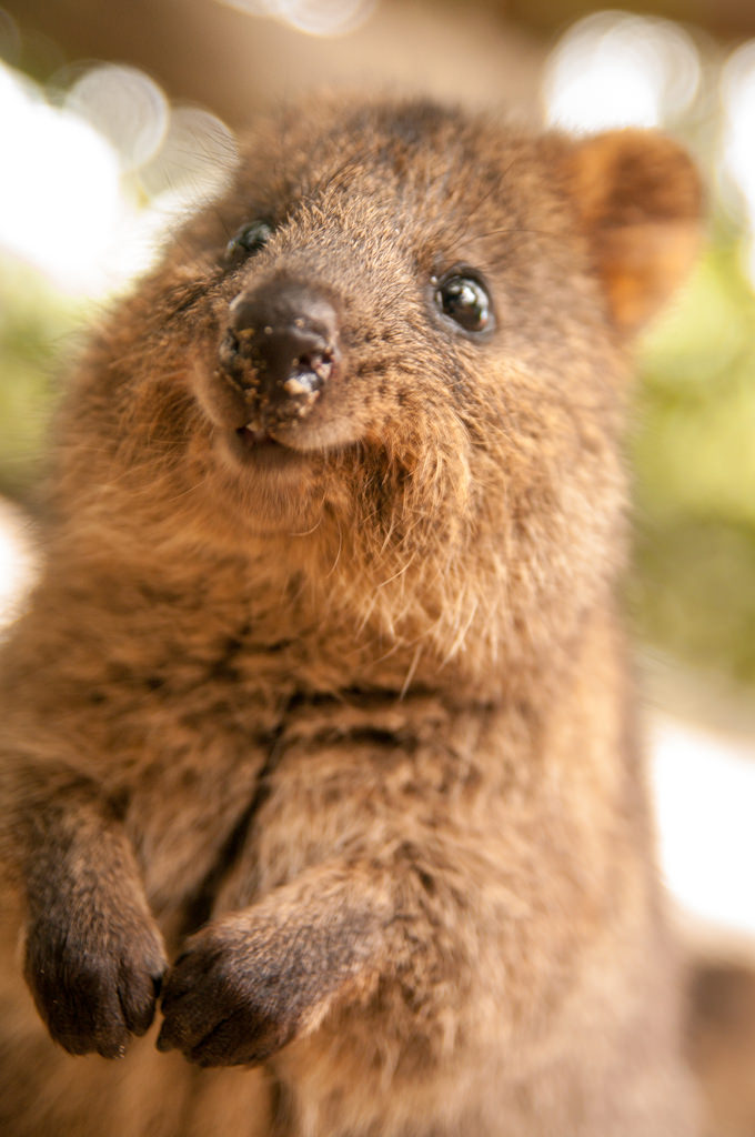 Q is for Quokka – Rising Ape Collective