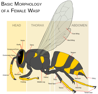 Wasp_morphology.svg