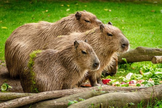 animals-capybara-close-up-160583.jpg