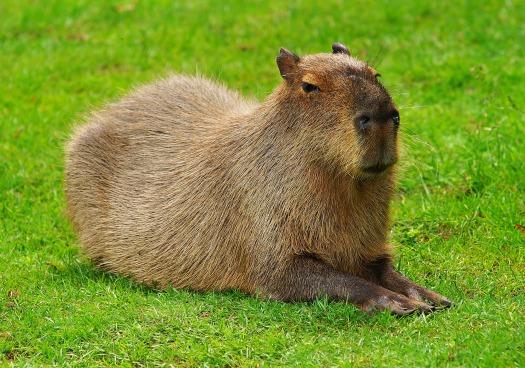 capybara-2333512_1920