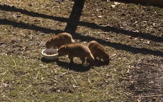 capybara-babies