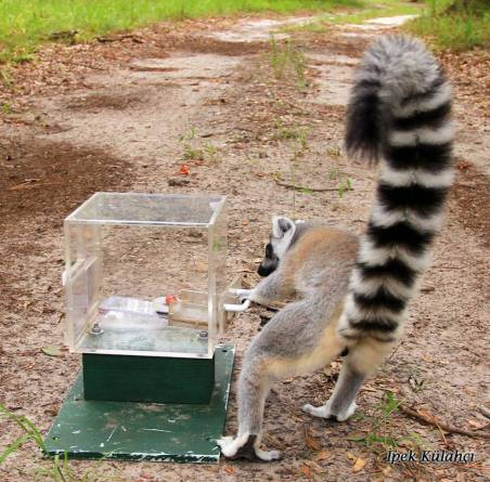 Lemur-box--Ipek-Kulahci.jpg
