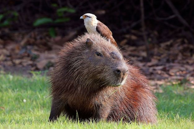 Yellow-headed_caracara_(Milvago_chimachima)_on_capybara_(Hydrochoeris_hydrochaeris).JPG
